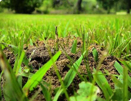 Mieren in gazon bestrijden